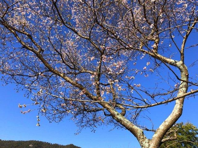 桃太郎神社の四季桜